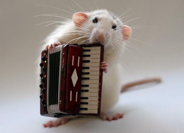 Крыса с гармошкой